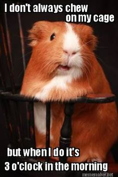 Most Interesting Guinea Pig in the World and this is a true fact mine always does this even the rabbit
