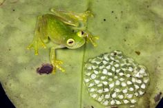 Here's an amazing amphibian fact: A glass frog's skin is nearly see-through. Sometimes you can actually see the organs inside its body.