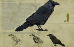 Corvid, these buggers wake me up every morning with their long drawn out caws!