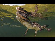 Fight Crocodiles of the river Amazing Nature | Nat Geo WILD