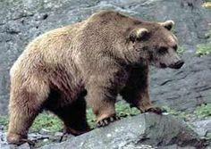 Oso kodiak es más robusto y de pelo más largo y denso que otros osos pardos. La vista es mala, pero su olfato es excelente para encontrar comida. Debido a su mayor masa muscular, la carne tiene mayor peso en la dieta del oso Kodiak, que completa con algunas raíces, frutos y brotes.