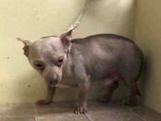 ***SUPER URGENT 6/25/14***NO LINK! Manhattan Center   MARTIN - A1004479  I am an unaltered male, gray and white Chihuahua - Smooth Coated mix.  The shelter staff think I am about 8 years old.  I weigh 12 pounds.  I was found in NY 10456.  I have been at the shelter since Jun 24, 2014.  https://www.facebook.com/photo.php?fbid=826725870673627set=a.617942388218644.1073741870.152876678058553type=3theater