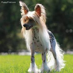 Chinese Crested Pictures (iqhy65m4423)