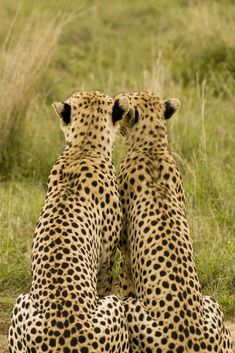 Claude Lecours - Two Cheetahs gaze on Two brothers contemplating life (Great Rift Valley, Kenya)