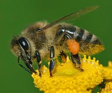 State insect, Apis mellifera Western honey bee.jpg
