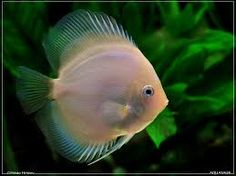 Image result for young discus fish