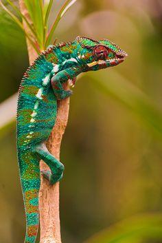 chameleon | Tumblr