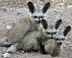 A canid native to the savannahs of Zambia, Angola, South Africa, Ethiopia, Sudan, and Tanzania, the bat-eared fox gets its name from its large ears, and is known for being around in some form for over 800,000 years. Also known as the big-eared fox, black-eared fox, and Delandes fox; it has black ears and tawny fur, and grows to about 1.5 feet (55 centimeters) long with ears that are about 5 inches (13 centimeters) high off its head.