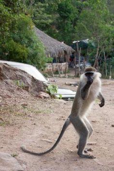 Djibouti, monkey's run down the road in packs! 1989