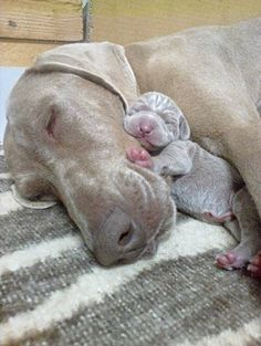 Weimaraner Dog Mom with newborn pup Animals And Pets, Baby Animals, Funny Animals, Cute Animals, Funny Dogs, Cute Puppies, Dogs And Puppies, Newborn Puppies, Pet Dogs