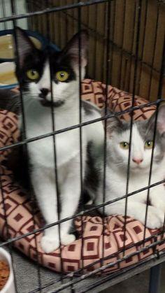 kittens Blake (Black and white) and Bonnie