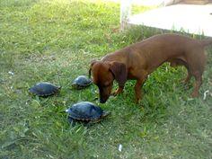 Truco e tartarugas, passeando...