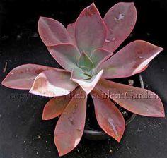 Graptoveria 'Douglas Huth'... deep pink, 20cm high and 20cm rosettes