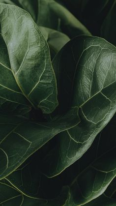 Aesthetic Backgrounds, Aesthetic Wallpapers, Rouge Hair, Plant Aesthetic, Big Leaves, Fiddle Leaf Fig, Summer Landscape, Nature Plants, Green Plants