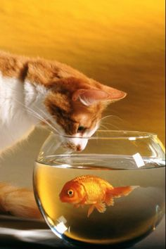 What is that cat thinking? What is the goldfish thinking? What will happen next?