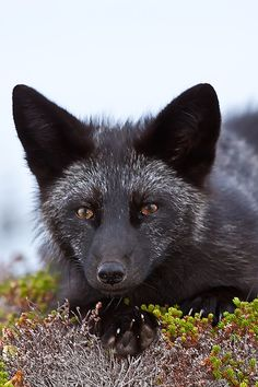 Young Black Fox in the Wild 7 by *Witch-Dr-Tim on deviantART