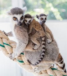 Taronga Western Plains Zoo excitedly welcomed the birth of two sets of Ring-tailed Lemur twins! The first set was born on October 5, and the second pair arrived October 17.