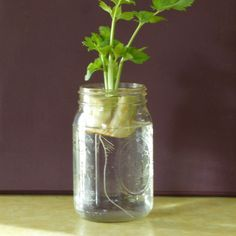 A quick and easy way to get celery plants started is growing celery ends. This method is also great idea for growing celery with kids. This article has more information, so click here to get started.