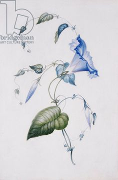 Blue convolvulus, 1832 (w/c on paper) by Charlotte Bronte