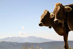 mucche di montagna sudtirol