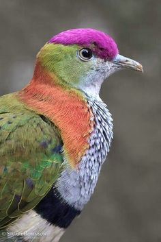 Superb Fruit Dove,  find me also here, http://www.ninaohmanarts.com
