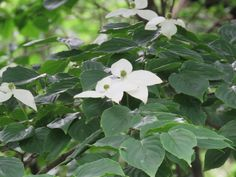 "The image is a Japanese Flowering Dogwood or ""yamaboushi"" or ""ヤマボウシ"" in Japanese."