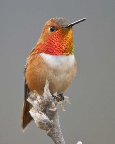 Although it is one of the smaller members in a family of midgets, this species is notably pugnacious. The male Rufous, glowing like new copper penny, often defends a patch of flowers in a mountain meadow, vigorously chasing away all intruders (including larger birds). The Rufous also nests farther north than any other hummingbird: up to south-central Alaska. Of the various typically western hummingbirds, this is the one that wanders most often to eastern North America, with many now found…