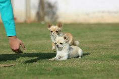 Cream Passion, Best long coat chihuahuas in India, Best chihuahua breeder. Chihuahua Breeders, Chihuahuas, Long Coat Chihuahua, Baby Grows, Feeling Happy, Acrylic Nails, Corgi, Best Friends, Best Gifts