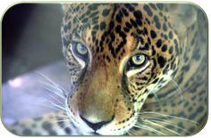 Este es un raro jaguar se encuentra en Costa Rica. Caza por diversión es ilegal en Costa Rica. Los animales en Costa Rica son muy especial e importante. Las personas que cazan por diversión pueden ir a la cárcel. Esta ley ayudará a proteger a los animales raros como el jaguar en Costa Rica. - Maddie