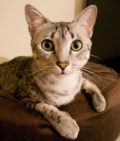 10 Egyptian Mau Cat Facts