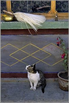 Chat du Tibet | Kitter Catter | Pinterest | Tibet