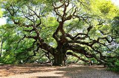 Great Tree - angel oak blog