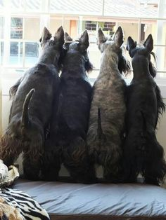 The tail end! #dogs #pets #ScottishTerriers facebook.com/sodoggonefunny