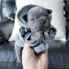 we love frenchies | French bulldog | via LADmob.com