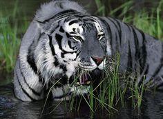 Maltese BLUE Tiger May Actually