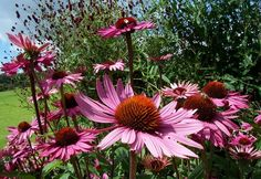 If only echinacea would survive in my garden!!!!