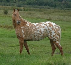 dun horse | ... dun + cream??? Friesian/Appy cross at the Horse Breeding forum - Horse