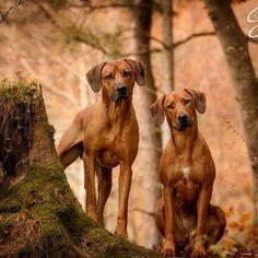 Family Time ❤  #dogphotographie #dogshooting #dog #ridgeback #herbst #autumn #fotoshooting #canon #canon5dmk3 #schweiz #rhodesianridgeback