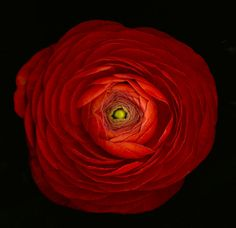 Red Ranunculus , by Katinka Matson