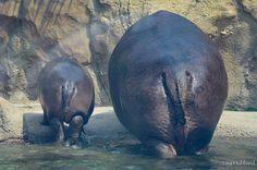 Baby Animals Super Cute, Cute Animals, Baby Hippopotamus, Fiona The Hippo, Cute Hippo, Photo Animaliere, Cincinnati Zoo, Majestic Animals, Cute Creatures