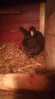 Havanna Kaninchen Mit Bildern Kaninchen