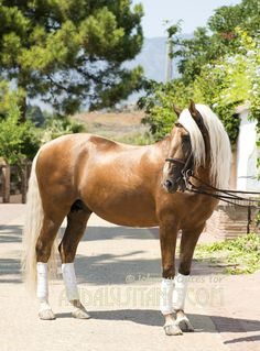 Destello Lusitano Stallion with schooling and perfect for anyone