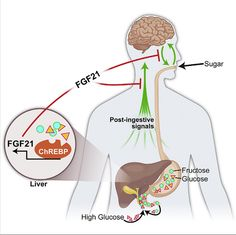 First liver-generated hormone to work with brain to control sugar-intake identified.