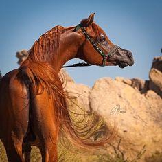 Montana Firenze  2009 Arabian Stallion Ajman Moniscione (WH Justice) x Fabrices Destiny (WN Ultimate Star)  www.MontanaFirenze.com Photo by Jenni Ogden