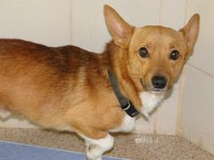 21211939 DC2 is an adoptable Welsh Corgi  in Arlington, TX Please contact Susan (Susan.Waits@arlingtontx.gov) for more information about this pet.OWNER SU ... ...Read more about me on @Petfinder.com.com Rescue Dogs, Animal Rescue, Pet Dogs, Dogs And Puppies, Dog Cat, Doggies, Small Dog Breeds, Small Breed, Skye Terrier