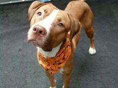 TO BE DESTROYED 10/23/14 Manhattan Center -P  My name is CARAMELLA. My Animal ID # is A1017226. I am a female brown and white pit bull mix. The shelter thinks I am about 1 YEAR   I came in the shelter as a STRAY on 10/12/2014 from NY 11232, owner surrender reason stated was STRAY.  https://m.facebook.com/photo.php?fbid=888109714535242&id=152876678058553&set=a.611290788883804.1073741851.152876678058553&source=46