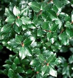 "Jim Dandy Winterberry -Ilex-Male Pollinator for Female Winterberry-Proven Winner by Hirts: Winterberry. $11.99. Color of Bloom: Green. Prefers sun or part-sun. Months of Bloom: Summer. Hardy Zones 3-9. Mature Height: 3-4'. Immediate shipping. Size shipped: 4"" pot. (Winterberry Holly) Ilex v. 'Jim Dandy' is a compact male pollinator for all Northern types. Ilex v. 'Jim Dandy' blooms for an extended period in early - mid season. New foliage is a glossy red-bronze which then turn..."