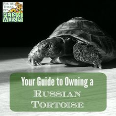 Have you thought about getting a tortoise? The Russian Tortoise may be just the pet for you!