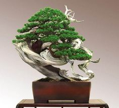 Introduction Possibly one of the most popular bonsai trees on the market is the beautiful Juniper bonsai tree. This type of bonsai tree is found in numerous countries all around the globe. Terrarium Cactus, Garden Terrarium, Bonsai Garden, Succulent Planters, Hanging Planters, Succulents Garden, Bonsai Tree Care, Bonsai Tree Types, Bonsai Trees