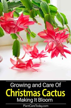 Christmas Cactus - How To Grow, Care For And Make Schlumbergera Bloom The christmas cactus blooming - No other plant seems to be equal it for its odd beauty or the number of questions from frustrated owners. Christmas Cactus Plant, Easter Cactus, Cactus Flower, Flower Pots, Flower Bookey, Flower Film, Cacti And Succulents, Planting Succulents, Cactus Plants